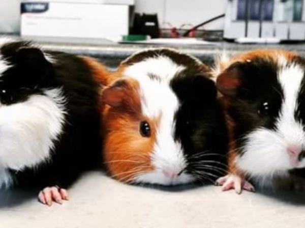Meerschweinchen-Familie beim Tierarzt Illingen Saarland